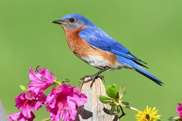 Symbolic Bluebird Meaning