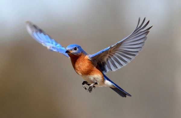 Symbolic Bluebird Meaning