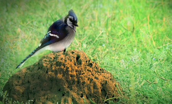 What is anting: Symbolic lessons from blue jays and ants