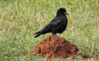 What is anting: Symbolic lessons from crows and ants