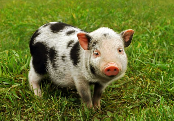 symbolic meaning of pig