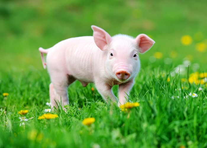 symbolic pig meaning