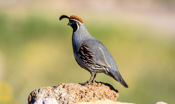 Symbolic Quail Meaning and Quail Messages
