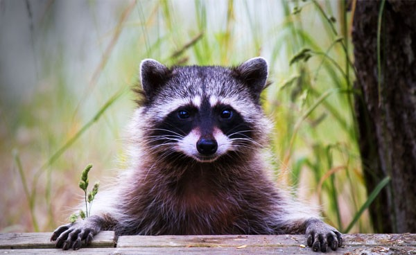 Symbolic Raccoon Meaning and Raccoon Messages