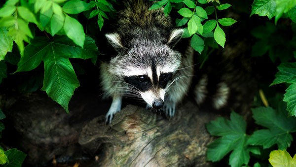 Symbolic raccoon meaning, raccoon messages and raccoon totem