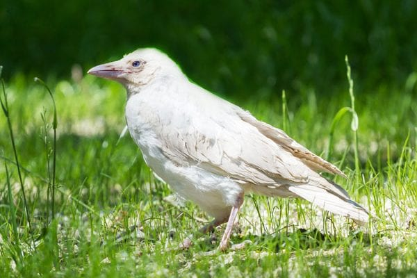 white crow and white raven meanings