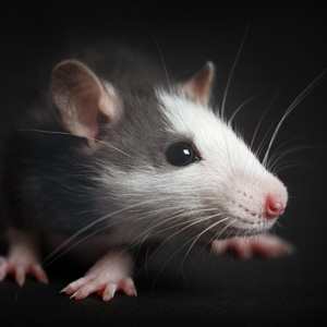 Chthonic-Meaning-Rat