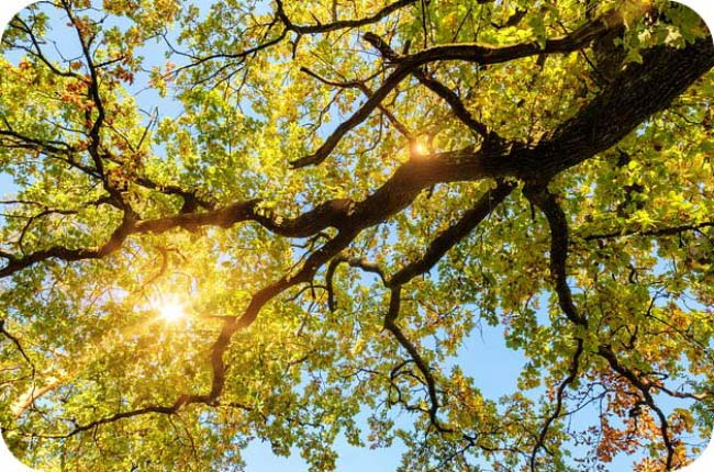 Holiday Meaning Of Trees - Oak Tree Meaning