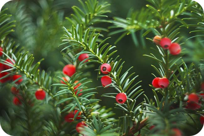 Holiday Meaning Of Trees - Yew Tree Meaning