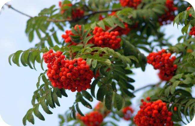 Holiday Meaning Of Trees - Rowan Tree Meaning