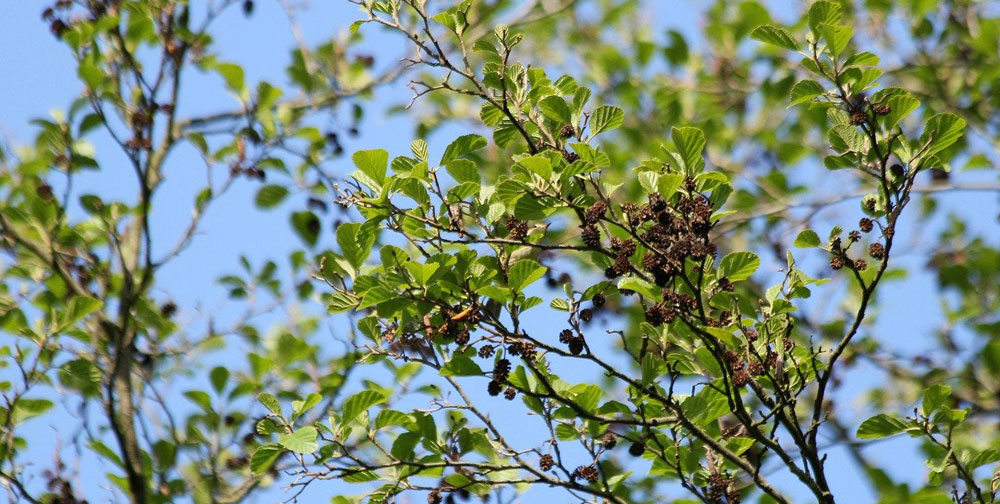 Alder tree meaning Celtic tree meaning