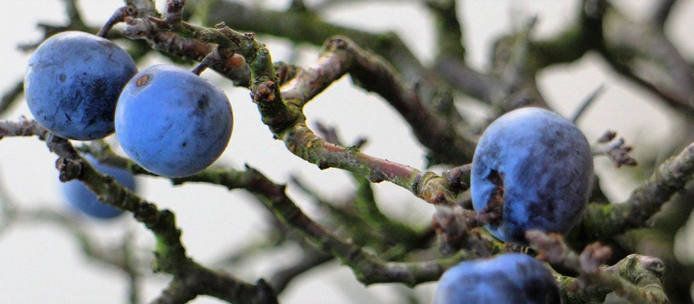 Celtic meaning of blackthorn