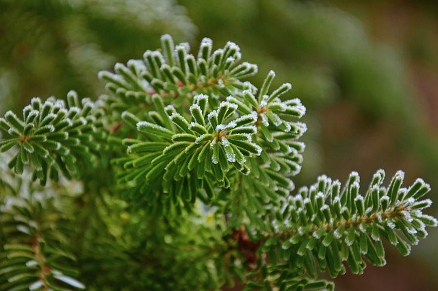 Celtic Meaning of Fir Tree