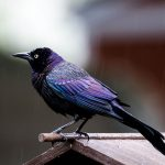 Symbolic Grackle Meaning and Messages