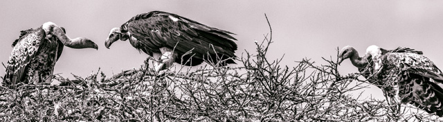 Native American Story About Buzzards and the Old Woman