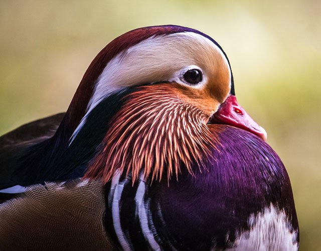 Duck Encounter Meaning
