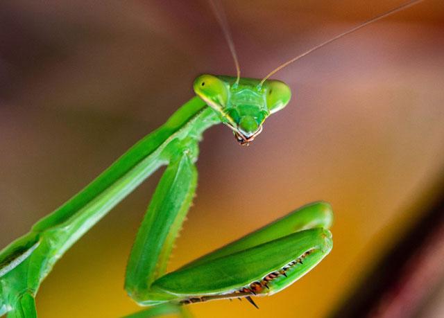 Praying Mantis Messages and Managing Stress