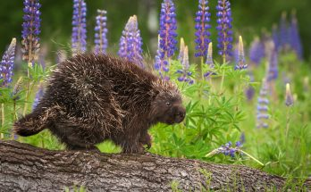 Porcupine Totem in Times of Grief