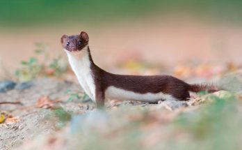 Symbolic Meaning of the Weasel