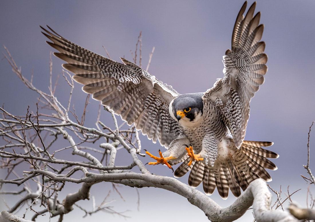 Peregrine Parable Falcon Wisdom