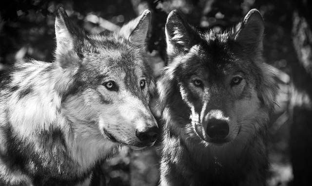 Story of Two Wolves Meaning