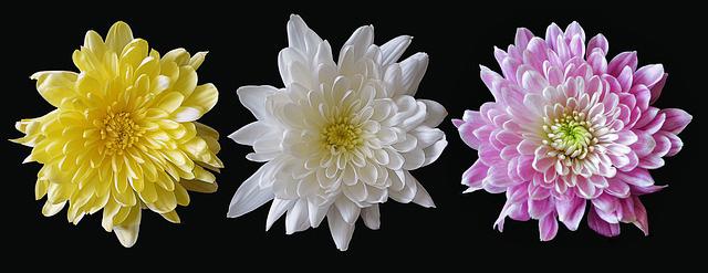 Symbolic Chrysanthemum Meaning