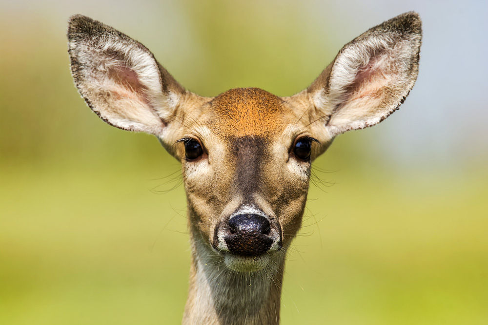 Deer Meanings and Love Lessons