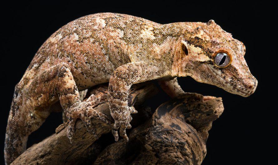 Facts About Gargoyle Geckos