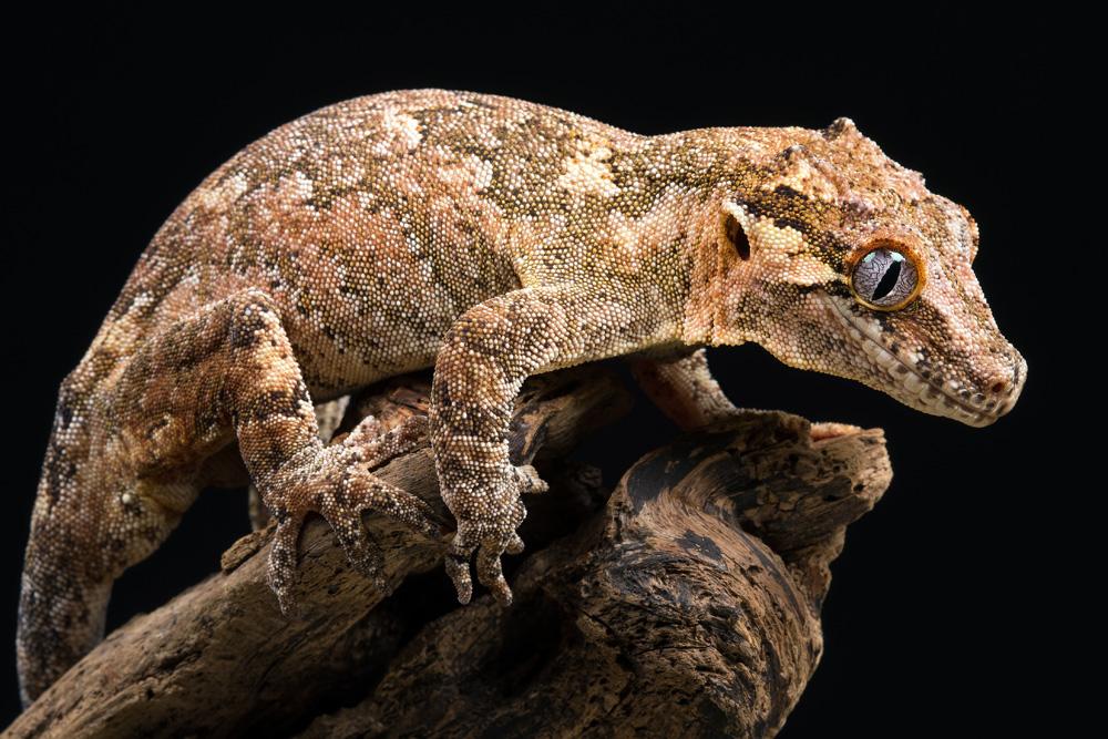 Gargoyle Geckos Meaning
