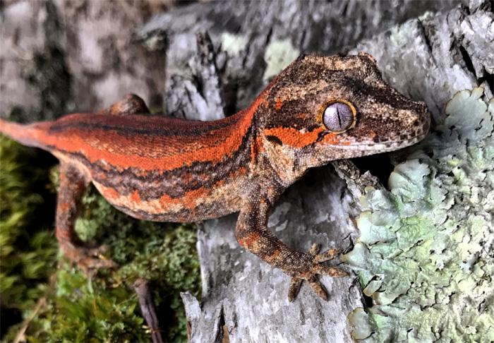Gargoyle Gecko Lifestyle