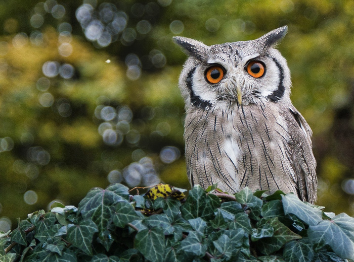 Owl Meanings and Learning