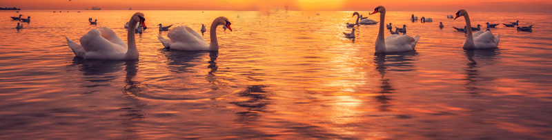 Seven Swans of Virtue